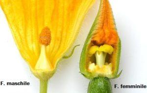 Fiori zucchina, maschio e femmina