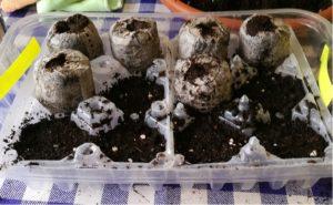pomodori semina